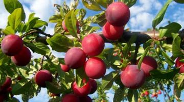 hoa quả tây bắc