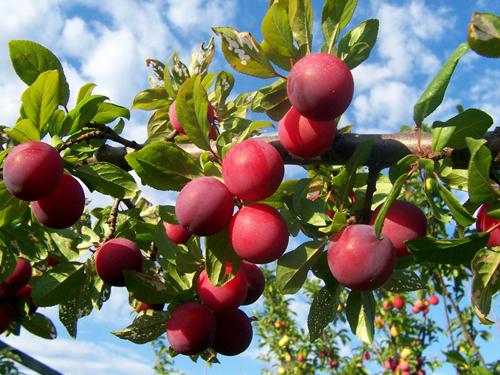 hoa quả miền tây bắc